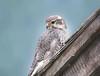 Prairie Falcon by Carol Bryant