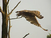 Fledgling Great Horned Owl by Carol Bryant