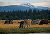 Rodeo Cows at Black Butte Ranch, Kate Thomas Keown