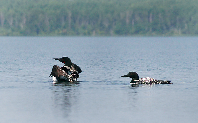 Near the island on Ghost Lake, I was just drifting along in the kayak hoping that these two Loons would get closer.