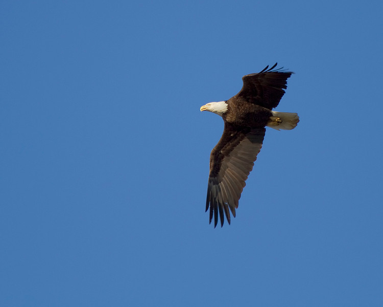 This Eagle was not exactly close by. My 75-300 was fully extended to get this shot.