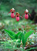 Lady Slippers that I saw in the woods at Blue Lake.