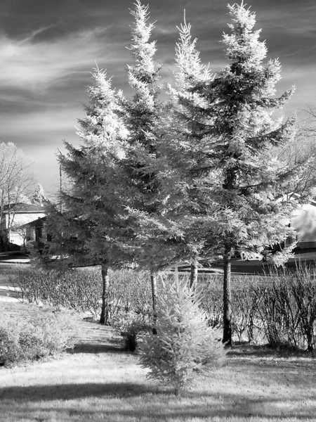 Not the most interestig subject for a IR image but with it being November, there isn't much for leaves so these evergreen trees will have to suffice.
