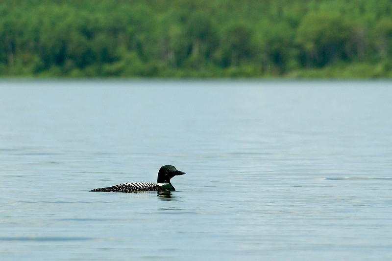 A Loon swimming on Ghost Lake.