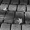 Leaf on the sidewalk, Dryden Ontario.<br /> <br /> Cropped from 2 1/4 x 2 1/4 negative.<br /> <br /> The developing of this strip of film was messed up from the very beginning. I forgot I had a roll of 120 in the developing tank and ended up using too little developer so the image was cropped to remove the area that was not properly developed (left 20% of the image). Most of the images, including this one, suffered from a light leak as well. First time I've had that issue with this back.<br /> <br /> Ilford Pan F+ developed in HC-110 dilution 'B' (times messed up due to not having proper amount of developer in the tank, with extra developer poured into tank after the first minute).<br /> <br /> Photo taken with a Hasselblad 500 C/M.