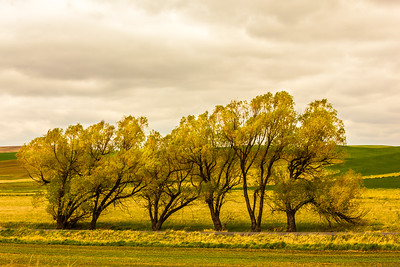 Trees in the Palouse