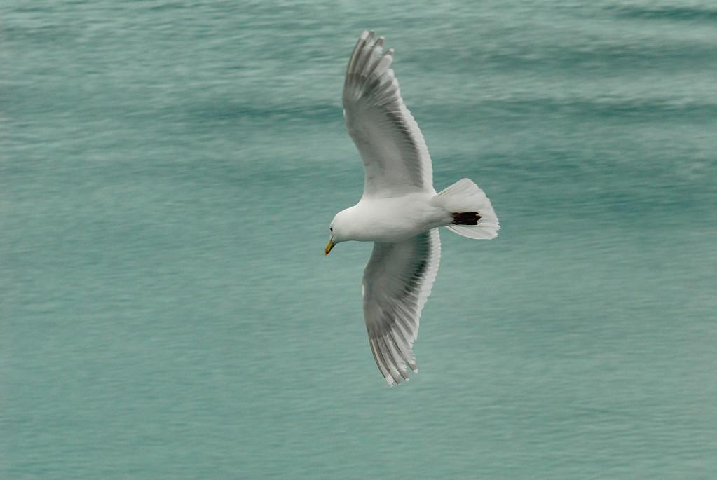 Seagull - Glacier Bay, AK