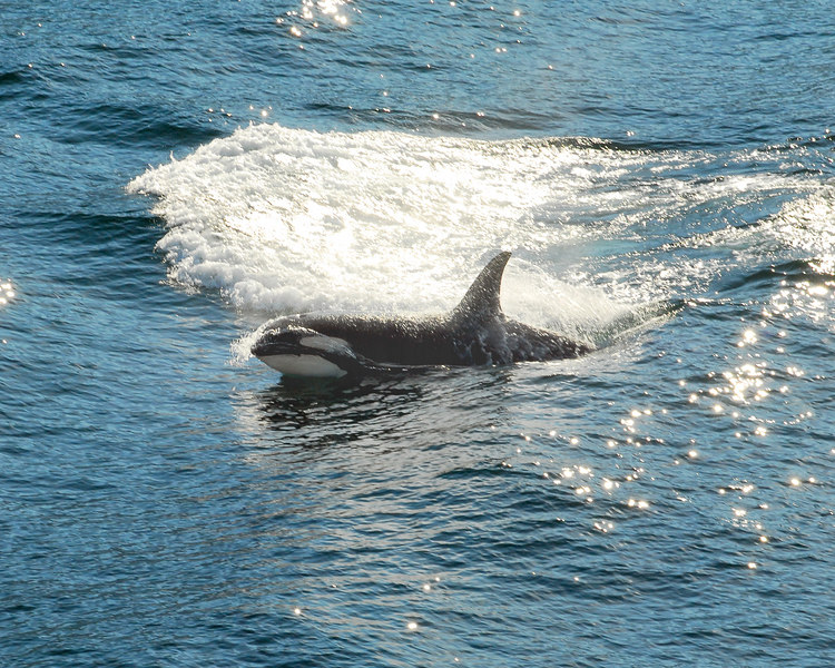 An Orca makes a brief appearance off the Island Princess.