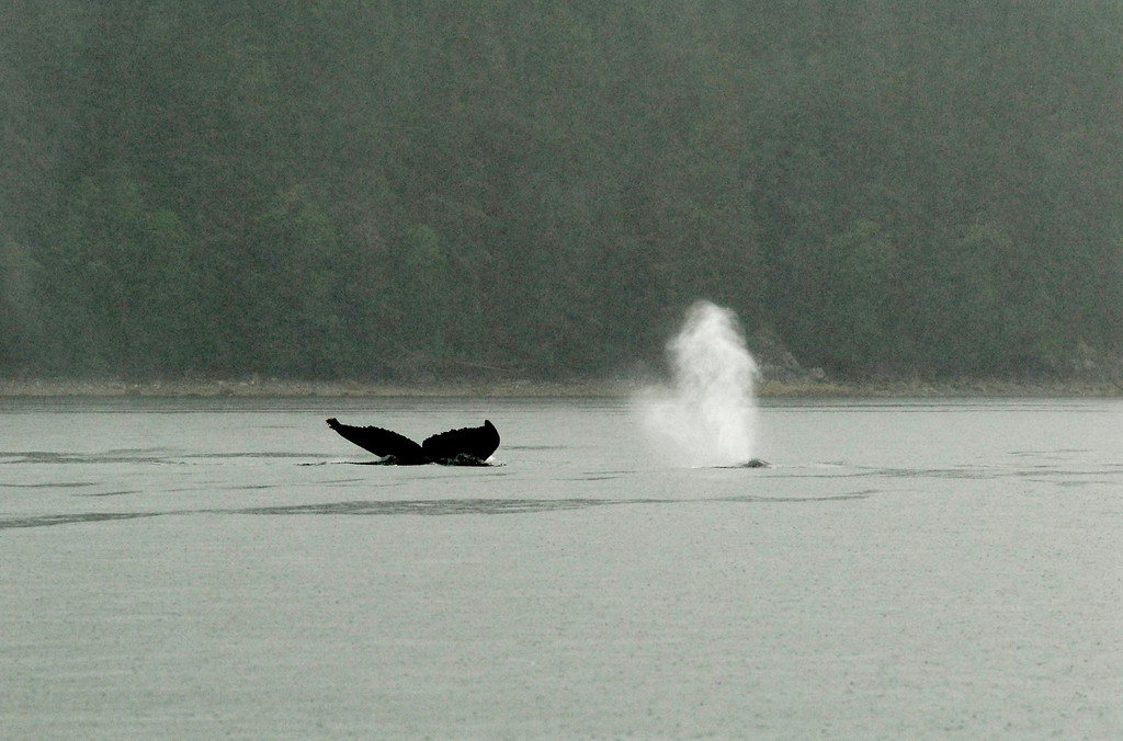 Humpback whale near Juneau