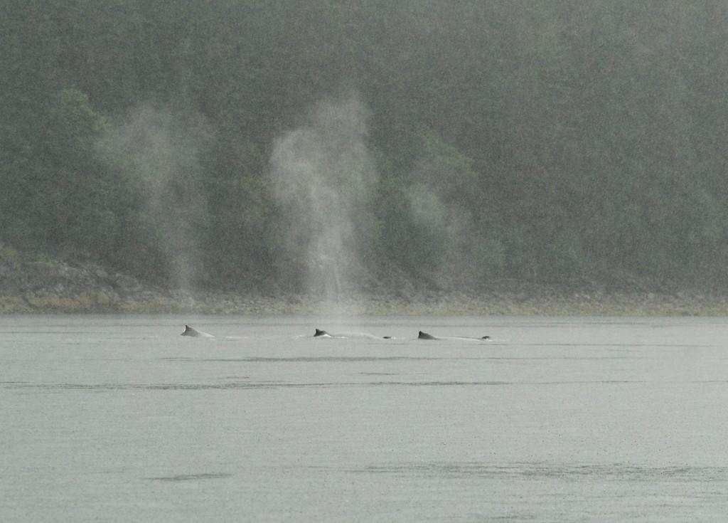 Humpback whales near Juneau