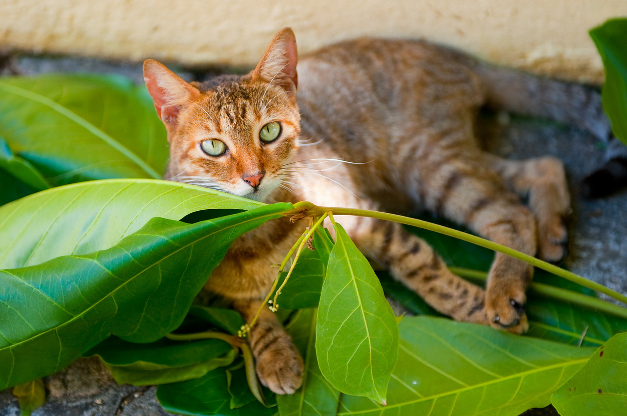 Green eyed cat lounging in the street, Old San juan.