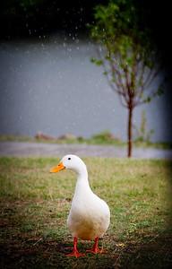 Happy Duck In The Rain