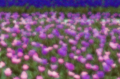 Digital Manipulation of Tulips At Botanica-Wichita, Ks.