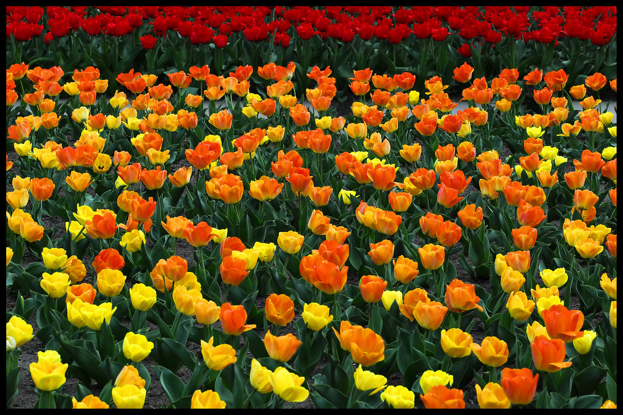 Tulips At Botanica - Wichita, Ks.