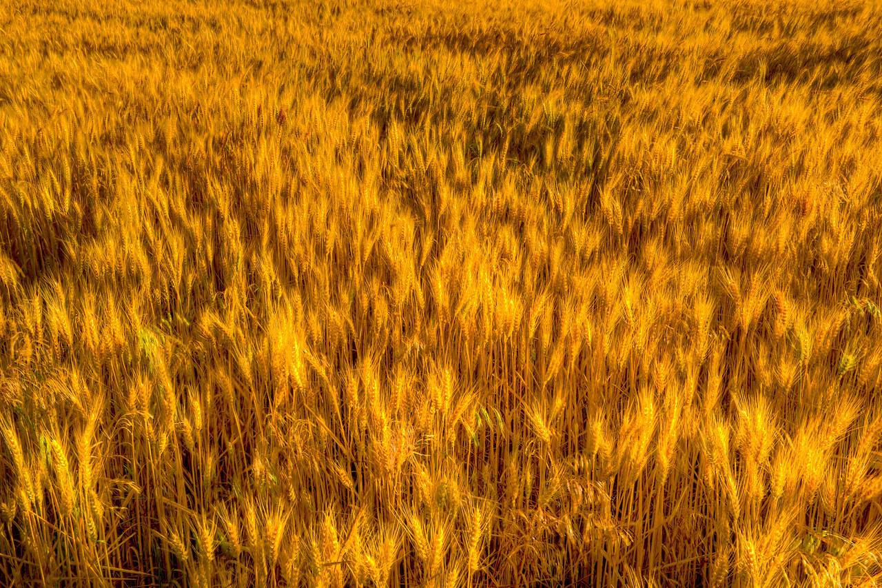 Kansas wheat, ready for harvest, near sunset.