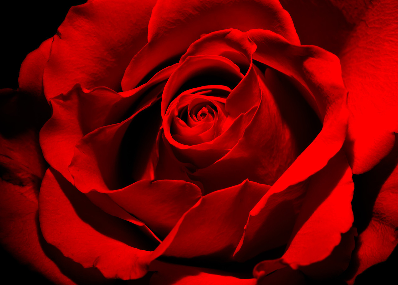 Light painted rose.
