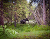 Moose seen near the visitor center in Grand Teton National Park.