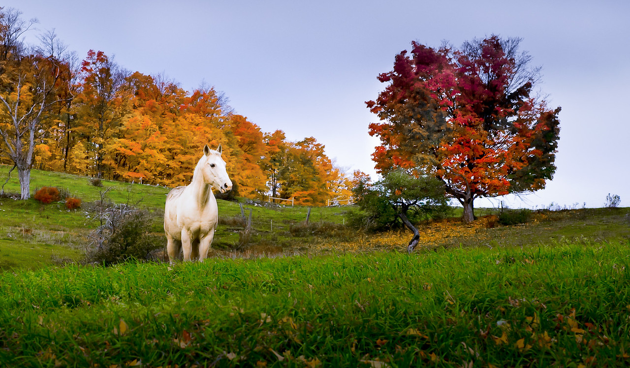 White horse and fall foliage near Woodstock, Vermont.
