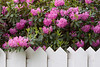Fenced Rhododendrons