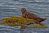 Harbor Seal, Misty Fjords, Alaska.  July 2011