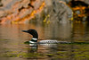 Common Loon, Neets Bay, Alaska