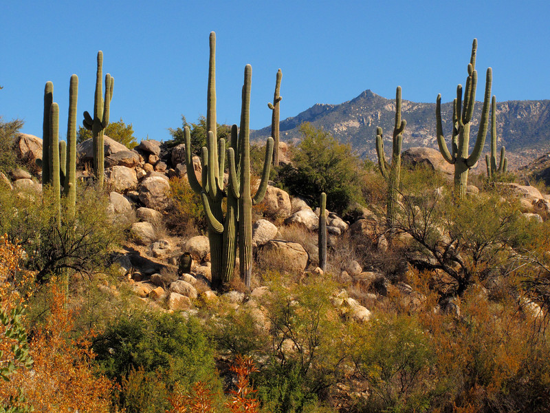 Saguaro Cactus, Catalina State Park, Arizona