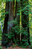 Big Sur Redwoods, California.  October 2009
