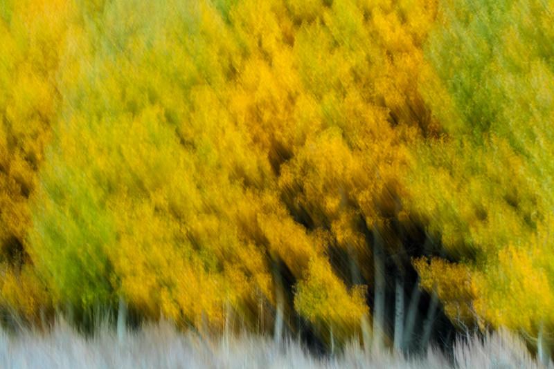 Aspen, Eastern Sierra Nevada, California.  October 22,  2009