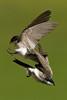 Tree Swallow, Parker, Colorado. June 2012