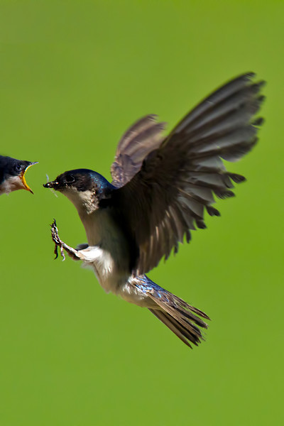 Swallow, Aurora, Colorado. June 2012