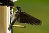 Tree Swallow, Aurora, Colorado. June 2012