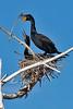 Double-crested Cormorants, Kountze Lake, Belmar Park, Lakewood, Colorado.  March 2018
