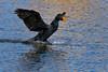 Double-crested Cormorant, Kountze Lake, Belmar Park, Lakewood, Colorado.  March 2018