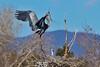 Great Blue Herons, Belmar Park, Lakewood, Colorado.  March 2018