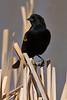 Red-winged Blackbird, Belmar Park, Lakewood, Colorado.  March 2018