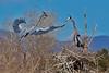 Great Blue Herons, Kountze Lake, Belmar Park, Lakewood, Colorado.  March 2018