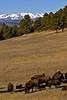 Bison herd near Genese Park, Colorado. November 2005