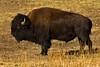 Bison bull near Genese Park, Colorado. November 2005