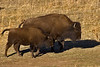 Bison Cow and calf near Genese Park, Colorado. November 2005