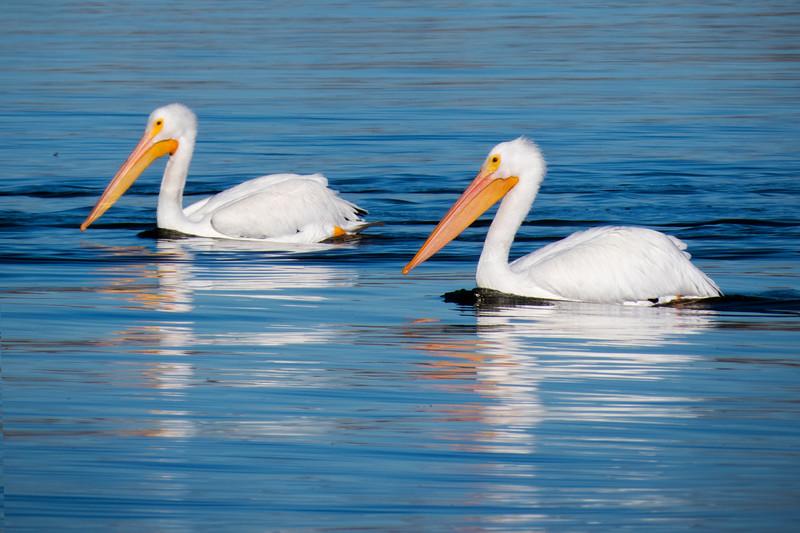 White Pelicans, Cherry Creek State Park, Colorado.  November 2015