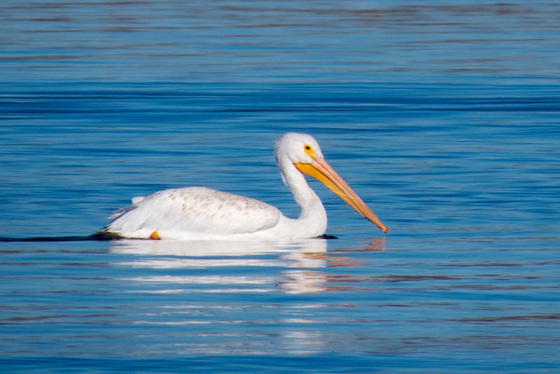 White Pelican, Cherry Creek State Park, Colorado.  November 2015