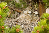 Great Horned Owl and 3 chicks, Colorado Springs, Colorado.  May 2013