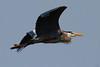 Great Blue Heron, Chatfield State Park, Colorado.  April 2015