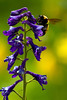 Bumble Bee on Monkshood, West Maroon Trail, Crested Butte, Colorado