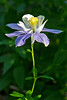 Columbine, West Maroon Trail, Crested Butte, Colorado