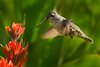 Indian Paintbrush and Hummingbird, West Maroon Trail, Crested Butte, Colorado. July 2013