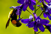 Bumble Bee on Monkshood, West Maroon Trail, Crested Butte, Colorado. July 2013