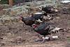 Wild Turkeys, Estes Park, Colorado.  March 2017