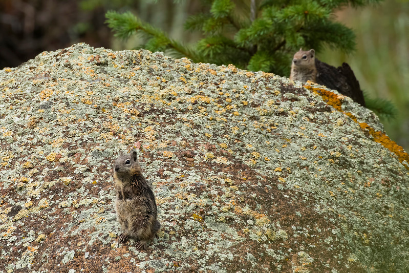 Golden-Mantled Ground Squirrels, Estes Park, Colorado.  July 2017