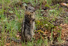 Golden-Mantled Ground Squirrel, Estes Park, Colorado.  July 2017